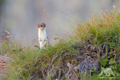 Short tailed Weasel (fascinationwildlife) Tags: short tailed weasel stoat ermine hermelin wiesel cute alps alpine wild wildlife nature natur national park hohe tauern grosglockner mountain range morning summer