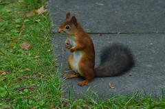 Sciurus vulgaris (talaakso) Tags: animal eichhrnchen ekorn ekorre finland mammal orav orava redsquirrel sciurusvulgaris squirrel suomi terolaakso talaakso
