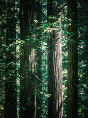 Sentrifugal Force (Doug Knisely) Tags: trees olympus landscape redwood nature omdem5markii california sunlight redwoodnationalpark redwoods straight 40150r