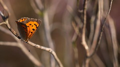 """Lycaena phlaeas"" - small copper (bugman11) Tags: smallcopper lycaenaphlaeas kleinevuurvlinder butterfly butterflies bug bugs fauna insect insects animal animals bokeh orange canon 100mm28lmacro nederland thenetherlands macro nature"