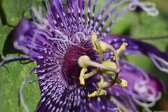 Passiflora 'La Lucchese' macro (_pkm_photography) Tags: pkmphotography2016 dslr nikon d3300 passiflora
