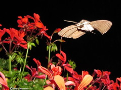 ...gost in the night ! (Marco Ottaviani in the mountains with little acces) Tags: natura nature insetti insects insecta sphingidae sphinx sfinge agrius convolvuli convolvolo farfalla butterfly fiore flower pianta plant pelargonium geranium geranio canon marcoottaviani