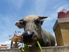 P1130446 (ian_harbour) Tags: vietnam hoian buffalo animal cow country temple cemetery