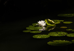 The sound of silence (Irina1010_out for a while) Tags: waterlily white lilypods pond darkwaters light whiteflower silence nature canon gibbsgardens reflection ngc npc