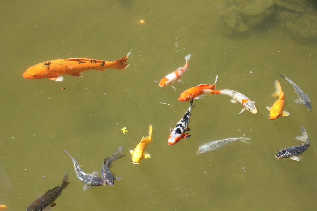 The world 39 s most recently posted photos of japanese and for Csulb japanese garden koi pond