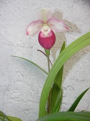 Phragmipedium Cardinale (Sedenii  schlimii) (fedorchids) Tags: phragmipediumcardinalesedeniischlimii phragmipediumcardinale phragmipedium cardinale