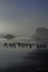 Flock in the fog (smbrooks_2000) Tags: fog birds california cambria seastack ocean water reflection sky clouds beach