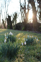 Snowdrops in the sun 03 (TinyTravelTurtle) Tags: snowdrops flowers morning light sun garden nature