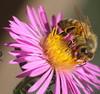 Honey Bee DSCF7147 (Ted_Roger_Karson) Tags: fujifilmxs1 honeybee aster northernillinois raynoxdcr150 handheldcamera fujifilm xs1 honey bee balm flower thistle hand held camera super macro raynox dcr150 lens thisisexcellent flowerhead flowers back yard friends twop bug northern illinois hd winter fuji eyes macrolife m150 macroscopic pollen animal outdoor insect pollinator plant depth field backyard animals