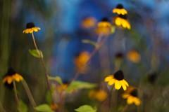"""RUDOBEKIA-TAKAO"" ( ) Tags: nex7 helios442 indoor wildflower outfocus gold flower plant bokeh masterphotos"