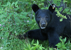 Black Bear...#1 (Guy Lichter Photography - Thank you for 3M views) Tags: bearblack canon 5d3 canada manitoba rmnp wildlife animals mammal mammals bears