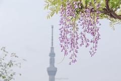 Japanese Wisteria  (Masayuki Nozaki) Tags: tokyo skytree canon 6d sigma