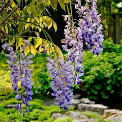Wisteria (cotarr) Tags: leica flowers purple geotag wisteria chicagobotanicgarden cameraraw poolphoto cs5 vlux3 cbgflowers topazdenoise topazdetail iphonemytracks