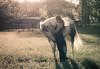 Fair Maiden and the White Horse (Proleshi) Tags: horse woman girl field 50mm golden rachel model bokeh ambientlight naturallight hour meditation maiden whitehorse eveninglight contemplation bluedress enchanting windinhair d300s 50mm14afs sunlightthroughhair proleshi jamaljosephs