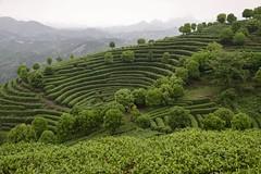 Tea plantation (Purple Giraffe) Tags: china green tea yangshuo picking teaplantation teapicking