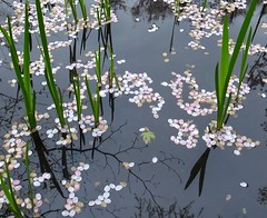(*suika *) Tags: reflections petals pond vivid  sakura     grd4 newbornleaves