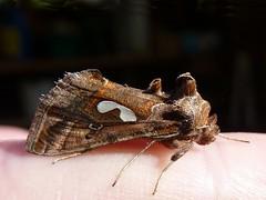 Megalographa biloba (Mathesont) Tags: california yard insect moth lepidoptera noctuidae martinez biloba insecta looper bilobed megalographa contracostaco
