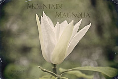 Mountain Magnolia (Singing Like Cicadas) Tags: mountains flower texture nature beauty river outdoors woods westvirginia processing magnolia appalachia newriver thurmond fayettecounty nikond90 deardreamer kimklassen beyondlayers