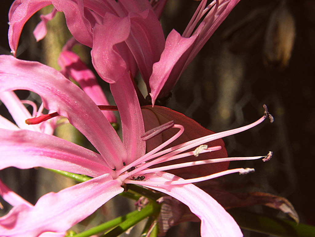 The Worlds Best Photos Of Bulb And Nerine Flickr Hive Mind