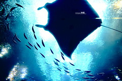 (v e r g i l  ) Tags: sea japan aquarium sony  okinawa alpha  undersea   a850