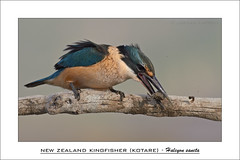 Crab bash (J Kappely) Tags: crab kingfisher mudcrab sacredkingfisher newzealandkingfisher halcyonsancta jordankappely