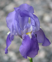 Iris in my garden ..... (fyrrylikka) Tags: iris garden cottagecountry 2012