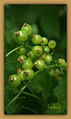 Blackcurrant in his youth. (tarelkaz1) Tags: summer macro green garden flora memories natureselegantshots naturethroughthelens mygearandme