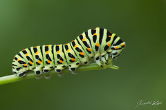 Papilio machaon - caterpillar / Old World Swallowtail / Otakrek fenyklov - housenka (Jaroslav Kaas) Tags: green animals canon insects lepidoptera caterpillar arthropods animalia arthropoda insecta papilionidae butterfliesandmoths taxonomy:class=insecta taxonomy:order=lepidoptera taxonomy:kingdom=animalia taxonomy:phylum=arthropoda taxonomy:family=papilionidae taxonomy:genus=papilio camera:make=canon exif:make=canon exif:iso_speed=200 exif:aperture=f8 taxonomy:binomial=papiliomachaon taxonomy:species=machaon exif:flash=off camera:model=canoneos7d exif:model=canoneos7d exif:tripod=on exif:lens=canonef100mmf28lmacroisusm exif:exposure=120sec swallowtailsandapollos original:filename=img18184jpg elitegreenmacros