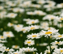 White Daisy (j man.) Tags: life birthday lighting flowers friends light white flower macro green art texture nature floral colors beautiful field yellow closeup lens happy photography flickr dof blossom bokeh pov background sony details extreme favorites blurred center outoffocus depthoffield pointofview views daisy 60mm closeness tamron rule comments missouribotanicalgardens thirds jman a300 mygearandme flickrbronzetrophygroup