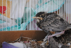 baby chicago bird found feathers young cage orphan loner
