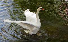 IMG_9291 (Pepijn070) Tags: delft gans zwaan
