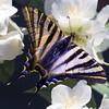 Swallowtail butterfly (Pilar Azaña Talán ) Tags: select podalirio chupaleche iphiclides podalirius pilarazaña swallowtailbutterfly mariposa luz colores planta naturaleza mariposadecoladegolondrina macro flores flowers celinda filadelfo hiladelphuscoronarius jeringuilla falsojazmín