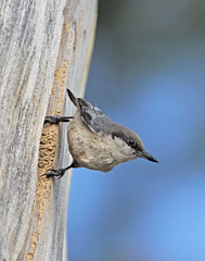 Pygmy Nuthatch (Ron Wolf (...detests this new design...)) Tags: california bird nature nest wildlife sierra nesting pygmynuthatch tahoenationalforest sittapygmaea sittidae slbnesting