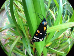 "Scarlet Tiger Moth (Callimorpha domin(1) • <a style=""font-size:0.8em;"" href=""http://www.flickr.com/photos/57024565@N00/7501735230/"" target=""_blank"">View on Flickr</a>"