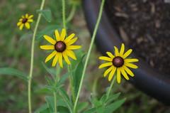 IMGP0279 (RaymondDukes) Tags: flowers plant flower nature yellow rudbeckia blackeyedsusan