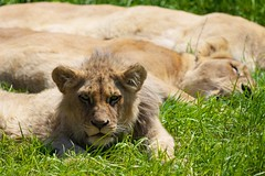 Lionceau #3 (m4mboo) Tags: zoo animaux flickrbigcats parcdesfelins highqualityanimals
