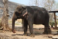 Tame cow elephant (shankar s.) Tags: pachyderm srilanka ceylon colombo elephantride asianelephant elephasmaximus habarana tameelephant domesticatedelephant