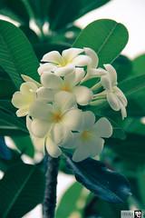 IMG_0729 (indikaparane) Tags: flowers nature kit srilanka lense 18135 araliya canon600d