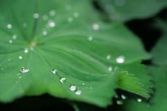 Drops of thew on leaf (Holger Hill) Tags: film leaf drops model nikon lotus kodak slide dia pearls chrome sp elite tau tamron blatt effect perlen tropfen thew f801s 9025 52bb pixelservicenet
