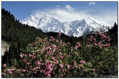 Nanga Parbat 8126 m, view from Fairy meadows (zafaryaab) Tags: travel pakistan mountain flower girl beautiful rose photography fort sony lakes palace shangrila area gb northern rakaposhi hunza baba yasin rama nagar diran passu gilgit tattu saifulmaluk baltit altit naltar deosai nangaparbat skardu baltistan sadpara astore fairymeadows kachura sheosar babusar satpara ishkoman lulusar godai ghizar punyal borith khaplu chilim ghanche hoopar atatabad