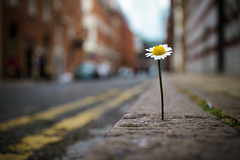 day 311 - Life finds a way (AlexTurton) Tags: life park street blur flower jeff 30 canon way blurry dof bokeh f14 14 sigma crack 7d 365 finds jurassic grown jurassicpark jeffgoldblum 30mm goldblum sigma30mm14 project365 lifefindsaway canon7d