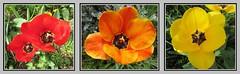 Tulipes , peu de temps  vivre. (busylvie) Tags: fleurs tulipes rouge orange jaune triptyque collage