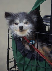 Blind In One Eye (swong95765) Tags: dog cute eye animal ride blind canine handicapped pampered