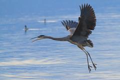 Great Blue Heron at Salton Sea, California. (Anne McKinnell) Tags: california bird heron animal wildlife greatblueheron saltonsea
