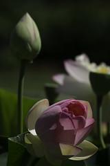 WaterLily_SAF9517 (sara97) Tags: copyright2016saraannefinke missouri nature outdoors photobysaraannefinke saintlouis towergrovepark urbanpark flower waterlily
