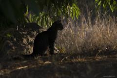 Sunset feline (leporcia) Tags: animales animals animalplanet cat cats chat chatterie gatos gato gatto katze katzen felino feline feralcat outdoor sunset