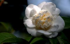 Camellia - Camelia (Camellia)_002 (by emmeci) Tags: pianta fiore