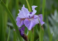Iris (careth@2012) Tags: nature iris petals closeup