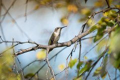 Secret Glen (gerrypocha) Tags: hummingbird small summer color hover bird ruby