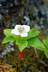 NS-01831 - Bunchberry (archer10 (Dennis) 80M Views) Tags: meetup hike woods lake halifax sony a6300 ilce6300 18200mm 1650mm mirrorless free freepicture archer10 dennis jarvis dennisgjarvis dennisjarvis iamcanadian novascotia canada colpittlake spryfield bunchberry flower